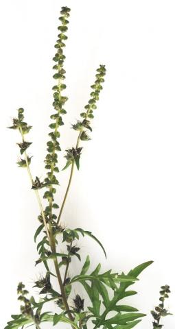 Die Beifußblättrige Ambrosie (Ragweed, Beifuß-Traubenkraut; wissenschaftlich: Ambrosia artemisiifolia)  © Fotos: istockphoto, beigestellt