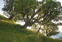 """Zu den Lieblingsbäumen von Conrad Amber gehören die Bergahorne auf der Waldalpe im Mellental. Diese Bäume sind wahre """"Statikwunder"""", weil fast zwei Drittel des Gewichts der Baumkrone über der Mittelachse liegen."""