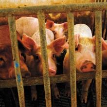Keine Idylle – die Realität internationaler Schweinemastbetriebe.