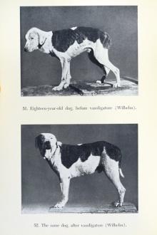 An Tieren erprobte Eugen Steinach seine Verjüngungsoperationen.
